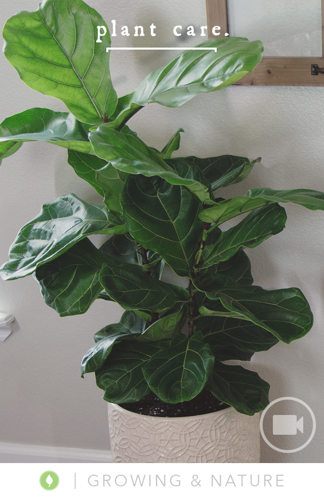 Caring for a Fiddle Leaf Fig Tree from katie: normal girl