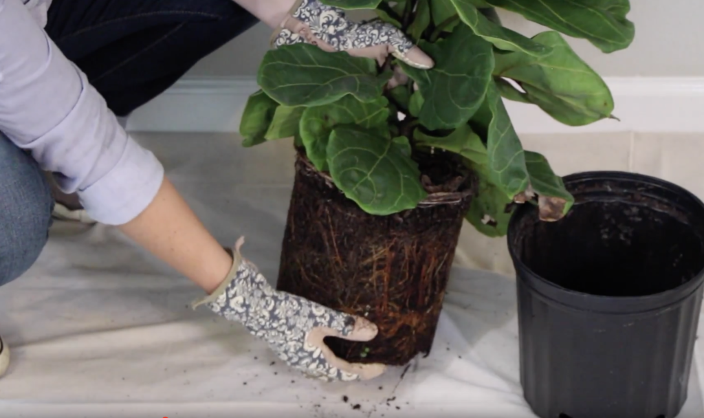 Caring for a Fiddle Leaf Fig Tree loosening the soil from katie normal girl