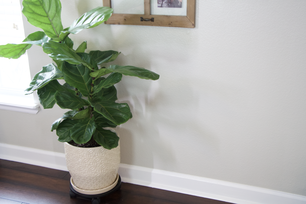 Caring for a fiddle leaf fig tree finding a location from katie normal girl